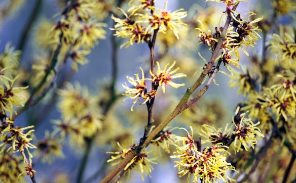 cropped-witchhazel_flowers_blooms.jpg