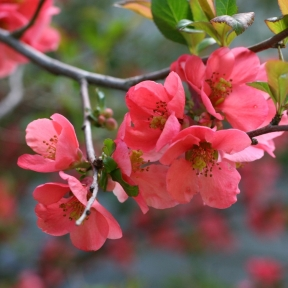 flowering-quince